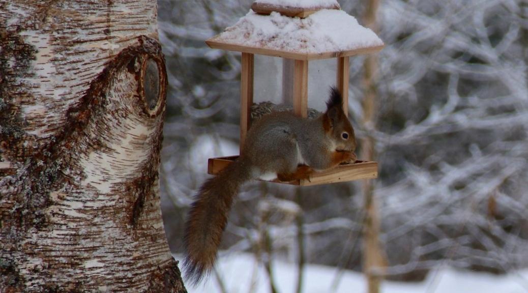 Orava voimaeläimenä Orava lintulaudalla Voimaeläin Voimaeläimet Pihapiirin luonnoneläimet