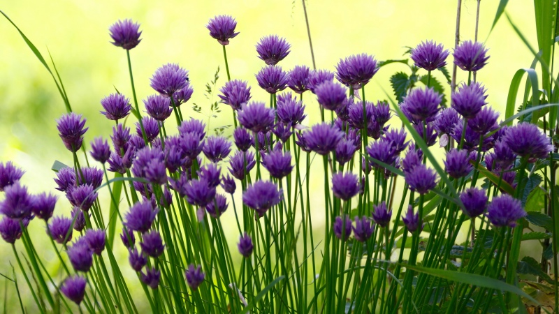 ruohosipuli-kukkii