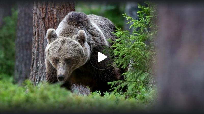 Karhu Voimaeläin Ikimetsä Metsän lumovoima